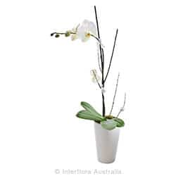 EXQUISITE Flowering orchid presentation in ceramic container AUS 823