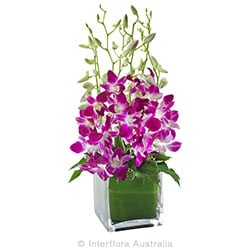 VIOLETTA Stunning orchids in a glass cube AUS 732